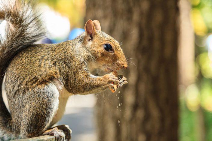Eichhörnchen Companys Garden